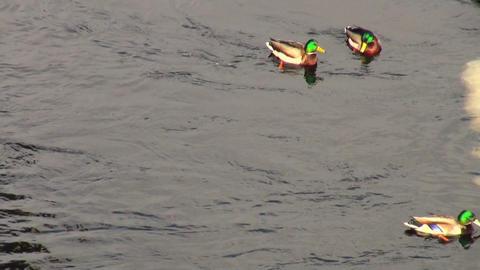 Ducks on water Stock Video Footage