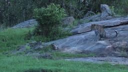Leopard (Panthera pardus) stalking