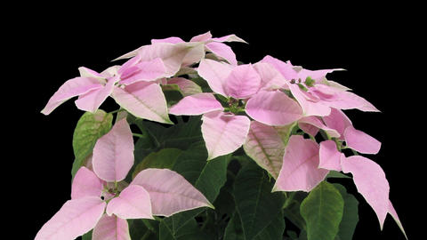 Time-lapse of growing pink poinsettia Christmas flower in RGB + ALPHA matte form Footage
