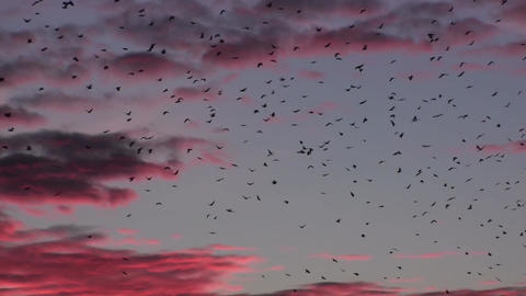 Flock Of Birds Flying At Purple Sunset Footage