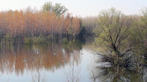 Flock of swan on river Footage