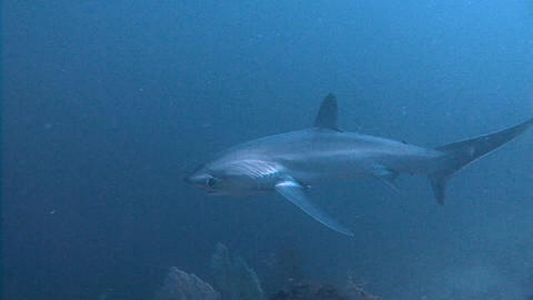 Excellent dive with thresher sharks at a depth of 40 meters Live Action