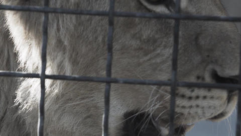 Sad eyes of lioness behind the cage cells GIF
