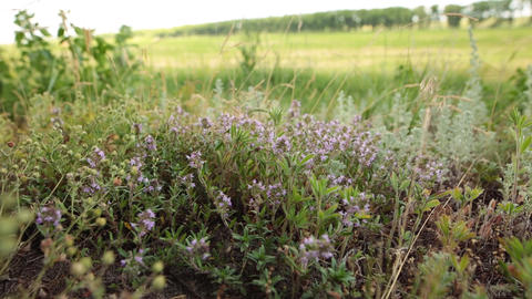 Woman hand picking up fresh green thyme with violet flowers growing in the Footage