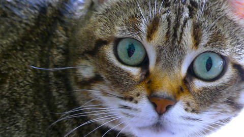 Close-up Of The Face of A Cat Stock Video Footage
