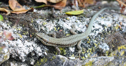 Little Lizard Sitting On The Rock In Nature GIF