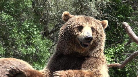 C0327 wild brown bear in wilderness Footage