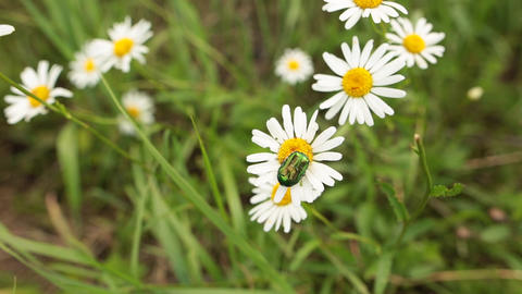 Small beetle on the white ox-eye daisy in a summer garden Footage