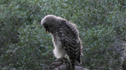 young barred owl in the evening woods Footage