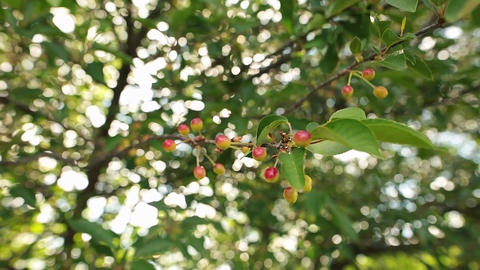 Beautiful unripe cherries hanging on a cherry tree branch. Selecrive focus Footage