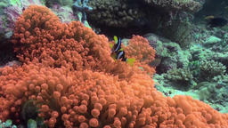 Orange anemones and clown fish on the sea floor Footage