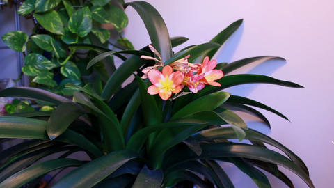 Group of houseplant - Flowering Clivia Footage