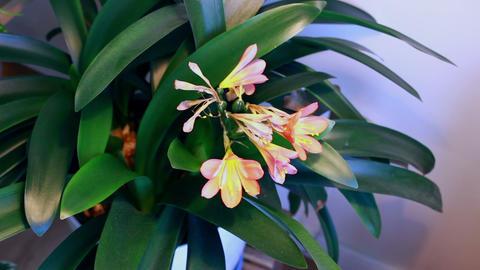 Flowering houseplant Clivia flowers/blooming blooms Stock Video Footage