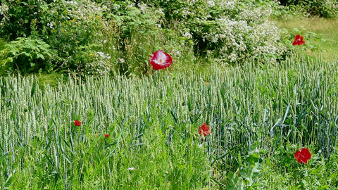 Green wheat and poppies vegetating in a sunshine Archivo