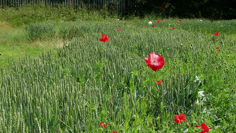Poppies in wheat field Footage