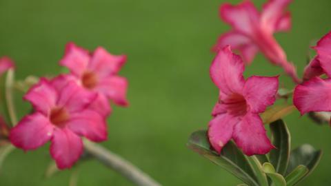 Adenium Obesum Desert Rose Pink Panning High Definition Live Action