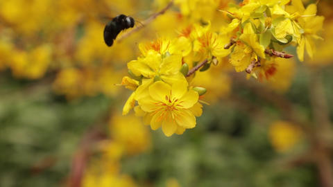 Carpenter Bee And Yellow Apricot Blossom Tree Footage