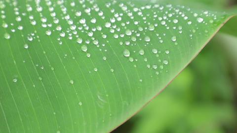 Banana Tree Leaf Morning Dew High Definition Footage Live Action