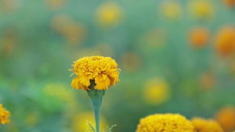 Wild Garden Marigolds High Definition Movie Footage Live Action