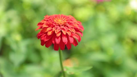 Zinnia Lilliput Garden Flower High Definition Footage Footage