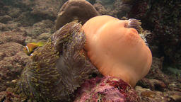 Closed anemone and clownfish close up underwater on seabed of wildlife Maldives Footage