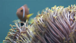 Anemone and clownfish close up underwater on seabed of wildlife Maldives Footage