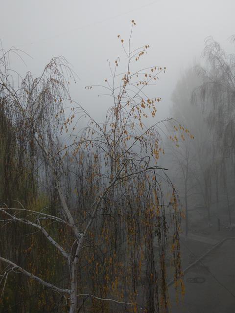Birch in the fog Fotografía