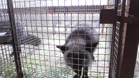 Black foxes in cages Footage