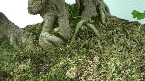 Bonsai tree roots. Macro view. Slow camera Footage