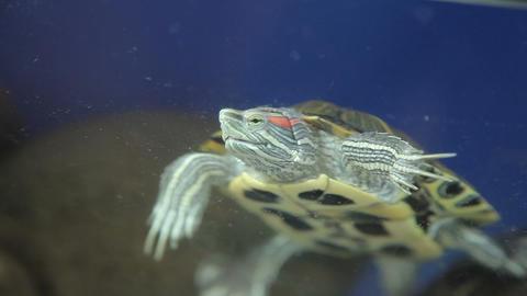 Red-bellied turtle in an aquarium Footage