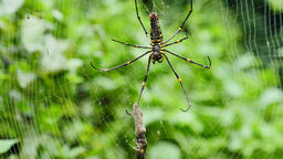 Spider is hunted and killed on web in forest Live Action