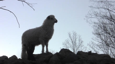 Lamb that sits on rocks and look round while the other lambs fleeing beneath him Footage