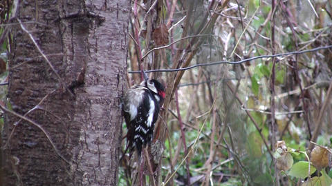 Woodpecker which climbs on a tree trunk 29a Footage