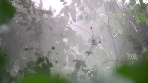 Torrential rain summer in green forest of deciduous 16b Footage