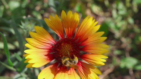 Bumblebee on a flower Gaillardia Footage