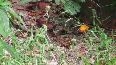 Big orange butterfly Footage