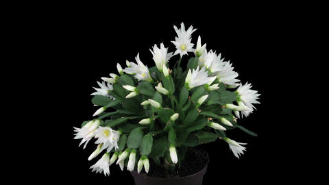 Growing and rotating white Easter cactus in RGB + ALPHA format Footage