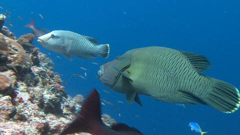 Amazing dive on the beautiful reef Blue Corner. Napoleon fish Live Action
