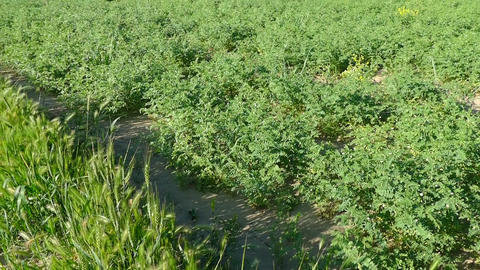 chickpeas, field and flowering chickpeas, plant Archivo