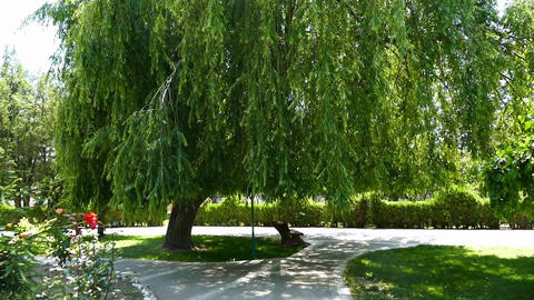 willow tree dangling, overhanging willow tree in the park, large willow tree Live Action