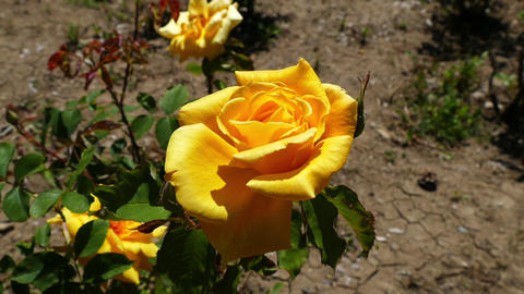 yellow rose, yellow rose in the garden hd video Footage