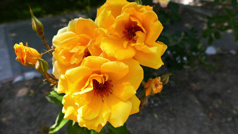 close-up yellow rose, faded yellow roses in the garden Footage