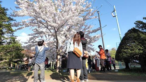 札幌市円山公園の桜 ビデオ