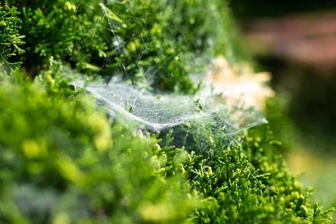 Spider web on a green bush Photo