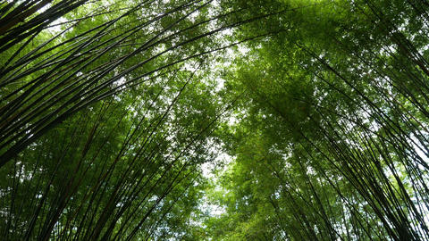 Scenic landscape of fresh nature green bamboo forest tunnel Live Action