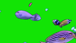 TROPICAL FISH GREEN SCREEN EFFECT Footage