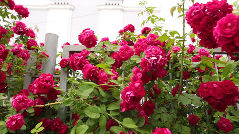 A slow panorama of flowering red roses in a botanical garden Footage