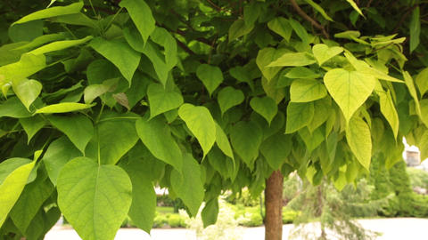 Young catalpa tree with sun lit leaves Footage