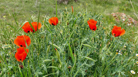 poppies,summer flower naturel poppy,spring flowers naturel poppy flower spring Live Action