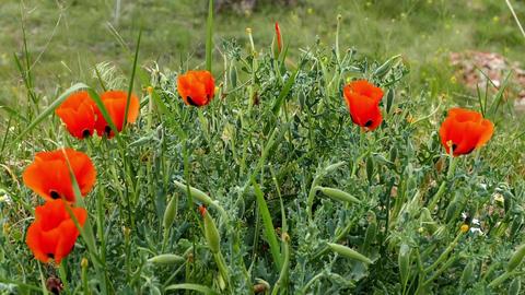 poppies,summer flower naturel poppy,spring flowers naturel poppy flower Footage